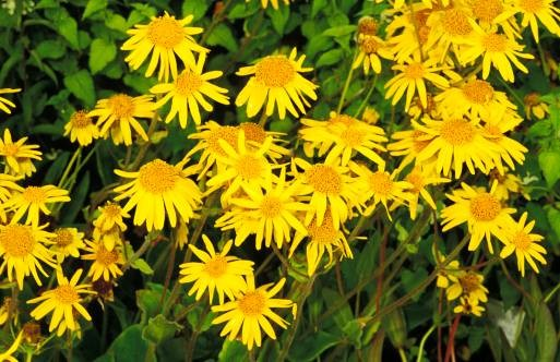 Herbal First Aid With Arnica 101 Ways To Survive