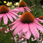 Lakota plant medicine, Purple cone flower/Ecinacia tea for boosting the immune system