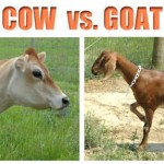 Cows vs Goats:  the Pros and Cons of Both