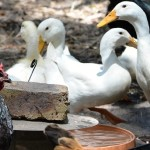 The Amazing Benefits of Ducks and Chickens in the Garden
