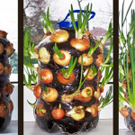 Grow Onions Indoors the Easy Way