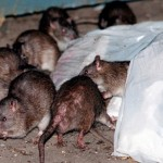 The Health Risks Associated With Rats