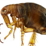 Safe and Easy Homemade Flea Control Solutions