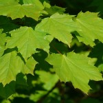 Leaves? Yes! Important Uses for Leaves in Survival Situations