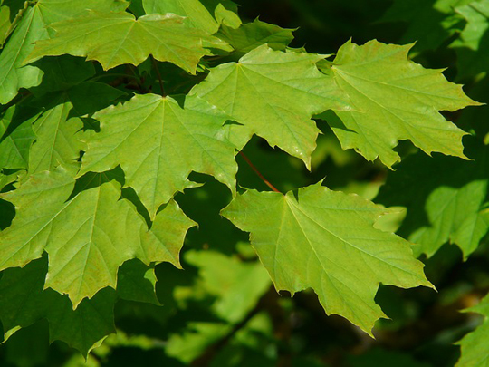 green-maple-leaves