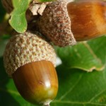 The One Secret You MUST know when Harvesting Wild Acorns