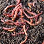 What is Vermiculture and Why is it Important?