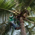 The Unknown Benefits of the Coconut Tree