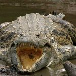 Man Eating Crocodiles Found in Florida Swamps