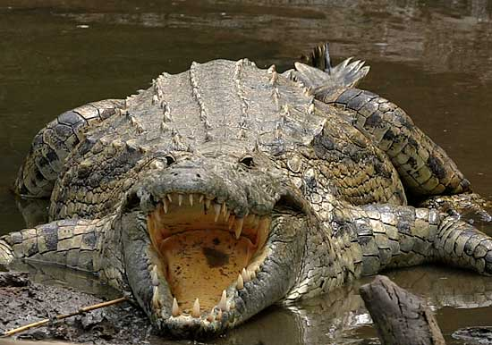 crocodile_ngr-4295_blog