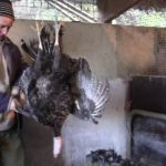 How to Clean or Pluck a Turkey