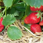 How to Protect Strawberry Gardens From Predators