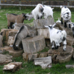 Quick Guide to Different Goat Breeds for the Homestead