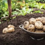 The Importance of Curing Potatoes for Wintertime Storage