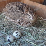 The Little-Known Benefits Associated with Raising Quail